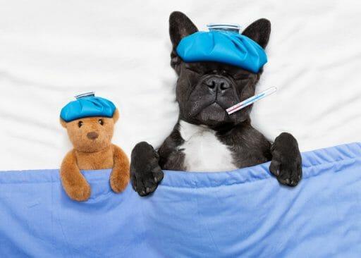 Hüftdysplasie beim Hund